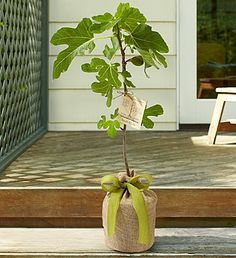 Fig Tree with Personalized Plaque. Adorable gift idea.