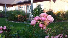 Wunderschöner Herbst auf Rügen | Rosen im Garten von TO HUS in Middelhagen (c) Frank Koebsch (2)
