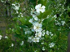 June 1  ,  2017 . The Plum Tree Blossom in Nurmijärvi  . FINLAND  .