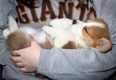 Sleeping baby Corgi!