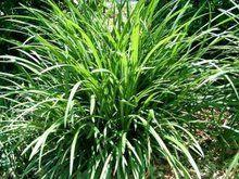 Liriope muscari 'Evergreen Giant', Liriope