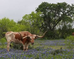 Texas cattle ranches