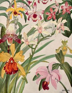 1927 Eight Varieties of Cultured Orchids (gorgeous botanical paintings)