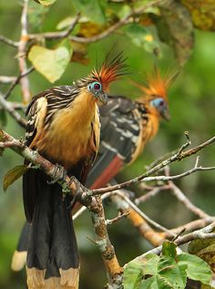 Hoatzins - a species of tropical bird found in swamps, riverine forest and mangrove of the Amazon and the Orinoco delta in South America