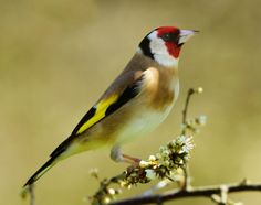 Spring Goldfinch by Mike Turtle on 500px