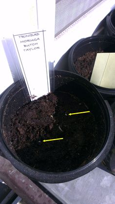 pictures were made on Thursday 09, May, 2013; 10 days after germinating. the tag you can see labeling the seeds (moruga trinidad scorpion, butch taylor, naga viper, infinity chilli) in a pot :)