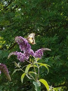 Le Machaon ou Grand porte-queue (Papilio machaon), femelle.