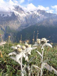 Edelweiss in mountain scene.  Google Image