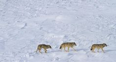 Down to 3 wolves on Isle Royale - http://scienceblog.com/77940/down-to-3-wolves-on-isle-royale/