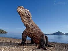 One of the rare animal species you can spot in the national park is Komodo Dragon.