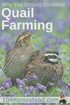 If you live in a location where ordinances prohibit keeping chickens and ducks, then quail may be right for you. Why you should consider quail farming.: