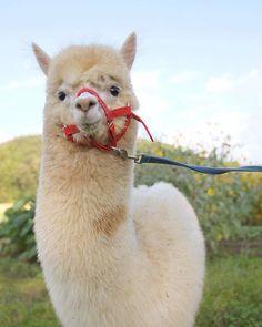 lovely alpaca Alpaca Funny, Cute Alpaca, Funny Llama, Animals And Pets, Baby Animals, Funny Animals, Cute Animals, Alpacas, Beautiful Creatures