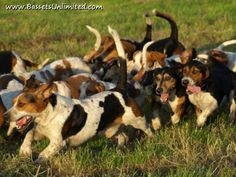 bassett hounds hunting   Bassets Unlimited - Hunting Basset Hound Photos 3