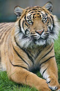 Lying and posing Sumatran tiger - http://www.1pic4u.com/tierbilder/tiger/lying-and-posing-sumatran-tiger/