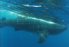Swimming with whale sharks near Cancun!