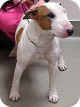 Wildomar, CA - Bull Terrier. Meet Hops- #186727 a 2 yr old purebred Bull Terrier for Adoption. -- This dog is at Animal Friends of the Valleys shelter.  Please call the shelter at 951-471-8344