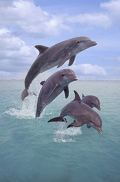 "Dolphins Jumping: ""This Foursome REALLY are truly AWESOME!""                                     (Photo Taken Off The Coast of Honduras.)"