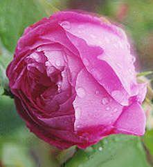 Heritage Roses, La Reine Victoria