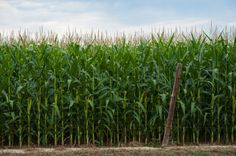 corn field with fence - Google Search