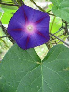'Heavenly Blue' Morning Glory- Hudson Valley Seed Library