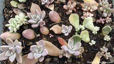 Mega Guía: ⇒ Reproducción de Cactus y Crasas⇐ Esq. Hoj