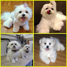 Maltese, five of them.