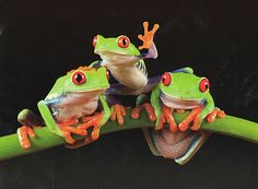 From frisky monkeys to a playful gorilla, here are some cute animal pictures to brighten your day. Green Tree Frog, Red Eyed Tree Frog, Frog Pictures, Cute Animal Pictures, Amphibians, Reptiles, Lizards, Animals And Pets, Cute Animals