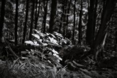 bwstock.photography  //  #forest #undergrowth Black White Photos, Black And White, Free Black, Nature, Plants, Photography, Black White, Fotografia, Blanco Y Negro
