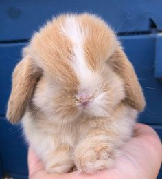 In the event you are looking for a family pet that is not just cute, but very easy to have, then look no further than a pet rabbit. Mini Lop Bunnies, Cute Baby Bunnies, Cute Babies, Super Cute Animals, Cute Baby Animals, Animals And Pets, Beautiful Rabbit, Fluffy Animals, Fluffy Dogs