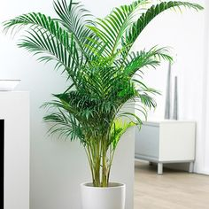 The World's Most Popular Indoor Palm - Areca Palms boldly go further up north than any other palms have before because they thrive in pots and low light conditions. If you live outside of the Areca Palm's recommended growing zones 9 – 11 plant your palms Palm Trees For Sale, Indoor Palm Trees, Indoor Palms, Palm Tree Plant, Trees To Plant, Indoor Trees Low Light, Potted Palms, Indoor Bamboo, Potted Palm Trees