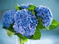 Pěstování modré hortenzie