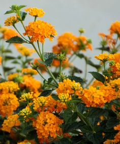 Golden Lantana - A low-maintenance tree blooms for four months straight, making it easy to add a dash of color to any landscape or container. Fond of sun and humidity, this fragrant tree will attract butterflies and hummingbirds for miles around.