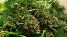 Medical Marijuana, Cannabis, Epilepsy Awareness, Muse, Awards, Herbs, Watch, Friends, Kids