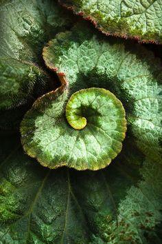 Spirals Rex Begonia