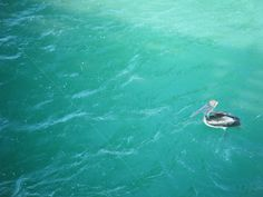 Pelican in our Gulf of Mexico Florida