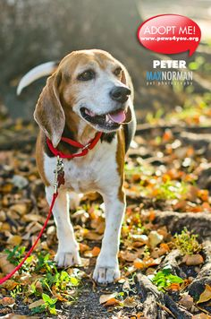 Peter The Beagle Is Available For Adoption Through Paws 4 You Rescue For More Info Http Www Adoptapet Com Pet 7509071 Miami Flo Pets Animal Photo Adoption