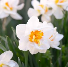 Double Daffodils Are So Petal-Packed, They Look Almost Like Dahlias Romantic Flowers, Amazing Flowers, Exotic Flowers, Rabbit Resistant Plants, Shade Garden Plants, Shades Of Violet, Peonies Garden, Hardy Perennials, Spring Bulbs