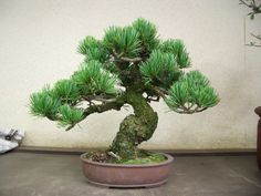 3. Wiring -A Guide to Basics: Bonsai Style: Secret of Shaping