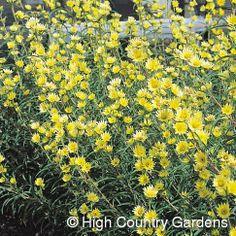 "Helianthus maximiliana Lemon Yellow Lemon Yellow Maximilian's Sunflower 6' tall 36"" wide"