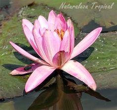 La flor nenúfar en un río, género Nymphaea
