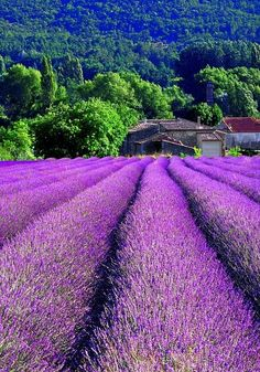 #Provence, France. #lavender #purple