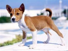 baby basenji...cutest puppies ever!