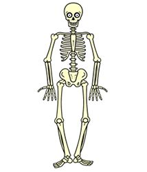 diagram of human skeleton | teaching anatomy | pinterest | human, Skeleton