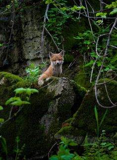 Red Fox Cub by Brian Behling More The Animal Charm ❤ Forest Animals, Nature Animals, Animals And Pets, Wild Animals, Beautiful Creatures, Animals Beautiful, Little Fox, Cute Fox, Wild Dogs