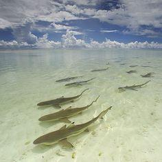 @thomaspeschak Blacktip reef #sharks hunting on tidal flats. Aldabra Atoll, #Seychelles.