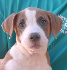 George (pictured here) and Liberty are two more of Felicia's puppies and they are debuting for adoption today at Nevada SPCA (www.nevadaspca.org). Like their siblings, who were adopted last week, they have been lovingly raised and socialized in a foster home since their rescue. They are Foxhound mixes, 3 months of age and spayed/neutered. This link has pictures of their mother and siblings: http://nevadaspca.blogspot.com/2014/09/apple-doodle-and-sam.html