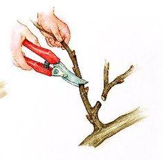 Tailler la vigne : couper les rameaux fructifères, conserver les sarments, observer les bourgeons, tous les bons gestes.