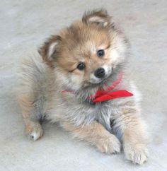 Einstein the Pomeranian