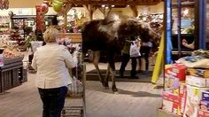Moose takes a stroll through B.C. grocery store