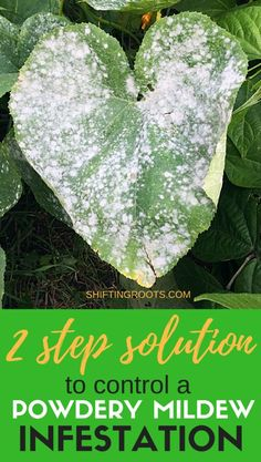 House Plant Maintenance Tips Need To Get Rid Of Powdery Mildew On Your Squash, Cucumbers, Pumpkins, Or Zucchini? I'll Show You The Treatment I Use On The Plants In My Garden, And Talk A Bit About Prevention For Next Time. Garden Insects, Garden Pests, Herbs Garden, Garden Hose, Powdery Mildew Treatment, Zucchini Plants, Planting Pumpkins, Squash Plant, Insecticide